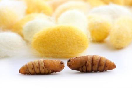 silken: cocoon silkworm  many silk worm yellow white Stock Photo