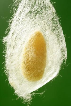 gusanos: capullo de gusano de seda colgando sobre fondo verde neto de gusano de seda  Foto de archivo
