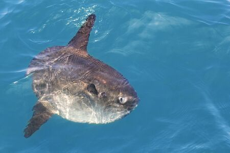 sunfish: sunfish in real sea nature, mola mola luna sun saltwater fish Stock Photo