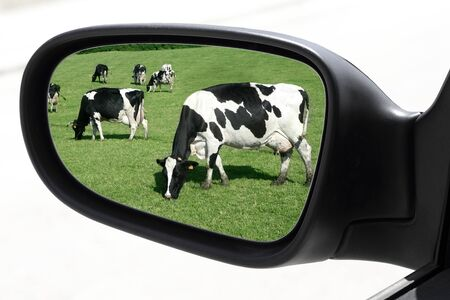 rearview car driving mirror view of meadow cow cattle Stock Photo - 7591865
