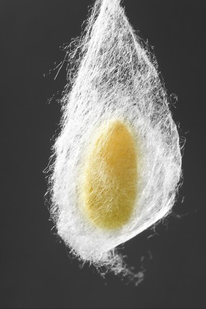 silkworm: cocoon of silkworm hanging on silk worm net gray background
