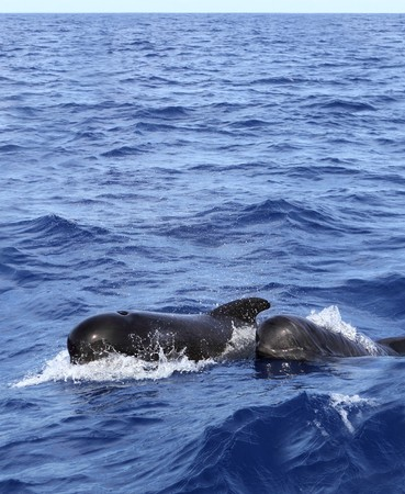 pilot whales free with baby sea blue mediterranean swimming photo