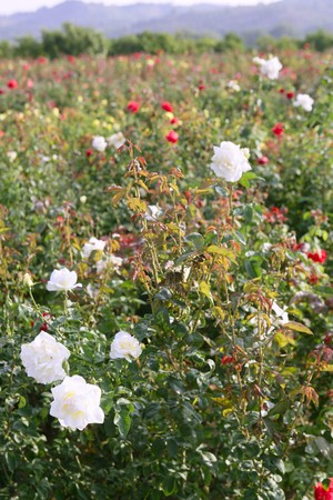 Agriculture of rose ornamental flowers field  photo