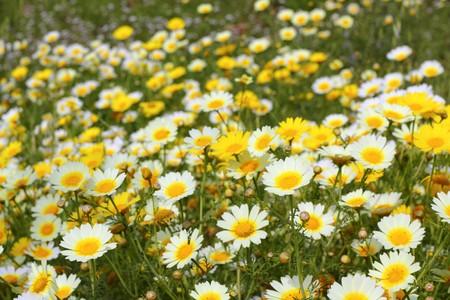 daisy yellow flowers green nature meadow spring season photo