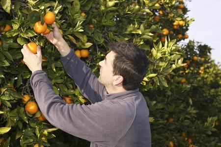 picking fruit: orange tree field male farmer harvest picking fruits in mediterranean Spain