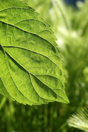 transparency: transparency in mulberry leaf silworms food green spring nature macro