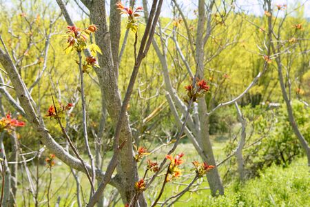 First spring red tree sprouts growing from dry branches photo