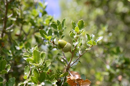 Acorn green fruits on the oak tree in the forest, wild life photo