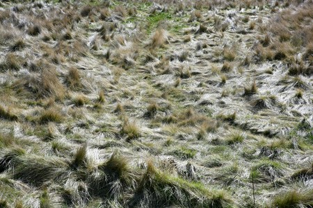carex: Carex grass field after hurricane messy plants