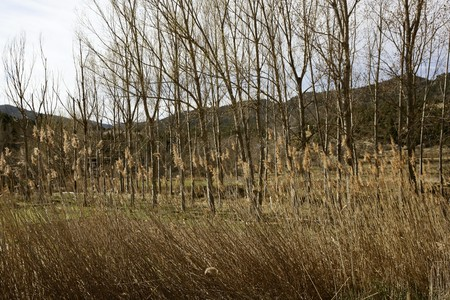 Autumn poplar trees and spikes on early winter fall photo