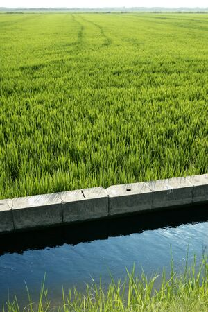 Rice field green meadow in Spain irrigation canal ditch photo