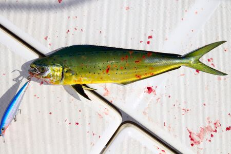 Dolphin fish bloody sport fishing with lure on mouth on boat deck Stock Photo - 7987958