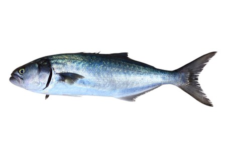 bluefish: Bluefish fish Pomatomus Saltatrix Jack isolated on white