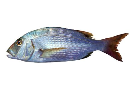 vulgaris: Dentex vulgaris toothed sparus snapper fish isolated on white