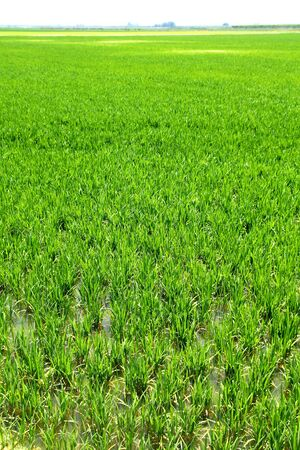 Agriculture rice cereal field perspective in spain Valencia photo