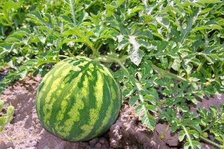 melon field: agriculture watermelon field big fruit summer water melon