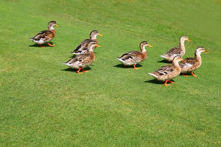 flock of ducks walking in  garden park green grass Stock Photo - 8051807