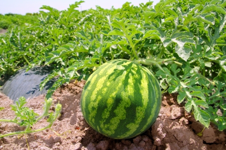 agriculture watermelon field big fruit summer water melon photo
