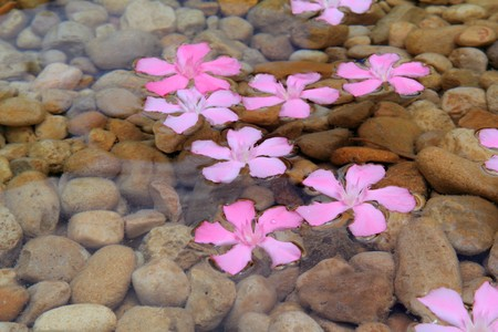Oleander pink flowers floating in natural rolling stone lake river photo
