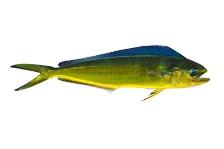 dorado fish: Aka Dorado dolphin fish mahi-mahi Coryphaena Hippurusl isolated on white Stock Photo