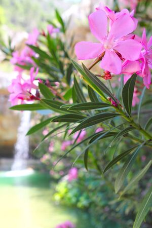 Oleander pink flowers plant paradise waterfall in background photo
