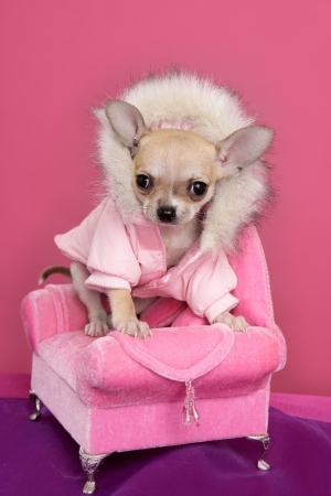 fashion chihuahua dog barbie style sofa armchair pink background photo