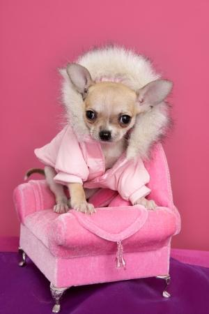 glamorous: fashion chihuahua dog barbie style sofa armchair pink background Stock Photo