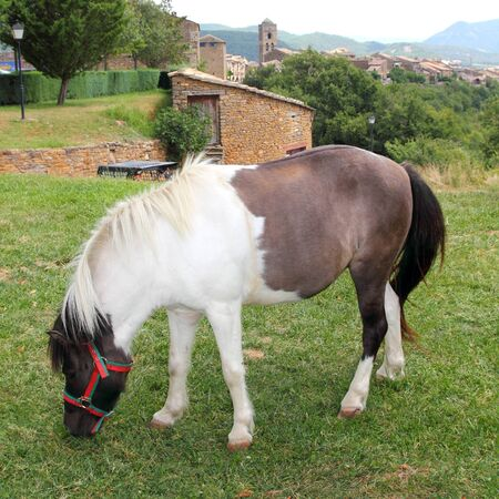 Pony horse grazing meadow in Ainsa Pyrenees Aragon Huesca Spain photo