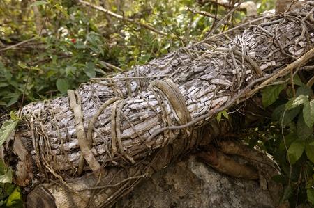 Aged old trunk cut fallen Mexico jungle gum tree photo