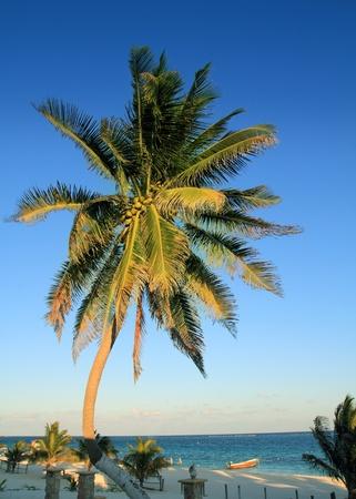 coconut palm trees in Caribbean tropical beach photo