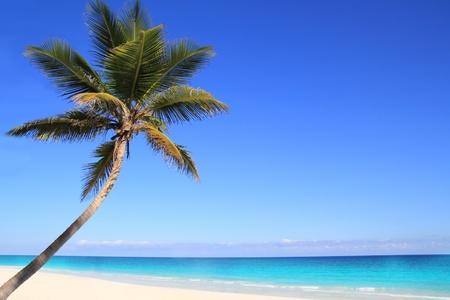 albero frutta: Alberi di palme da cocco dei Caraibi in acqua di mare tuquoise
