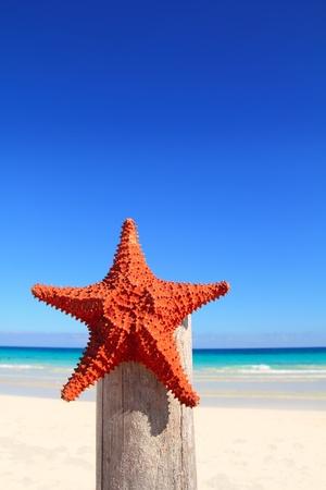 beautiful caribbean starfish on wood pole beach photo
