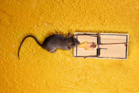 dead Mouse in cheese trap over yellow background photo