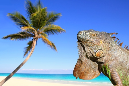 Mexican iguana in tropical Caribbean beach coconut palm tree photo