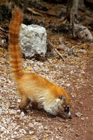 ring tailed: Coati ring Tailed Nasua Narica animal in South America Stock Photo