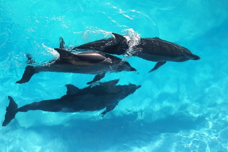 sea mammal: three dolphins high angle view turquoise water swimming