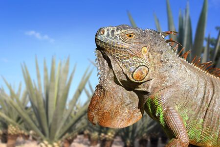 Iguana Mexico in agave tequila plant field blue sky photo