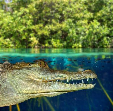 linea de flotaci�n: Caim�n cocodrilo nadando en el manglar arriba hacia abajo de la l�nea de flotaci�n Foto de archivo