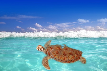 chelonia: Green sea Turtle Chelonia mydas  Caribbean sea Cheloniidae water surface