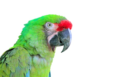 Ara Militaris Military Macaw Green parrot South and Central america photo