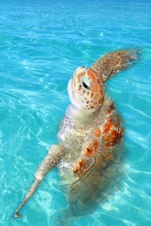 Green sea Turtle Chelonia mydas  Caribbean sea Cheloniidae water surface photo