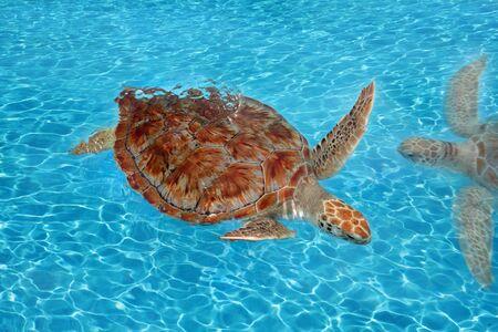 Superficie de agua de mar Caribe Cheloniidae de tortuga verde Chelonia mydas