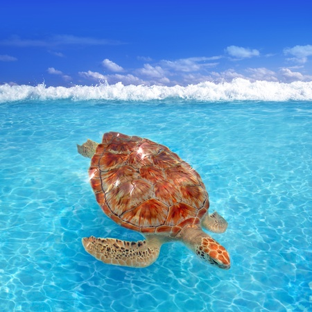 Green sea Turtle Chelonia mydas  Caribbean sea Cheloniidae water surface photo