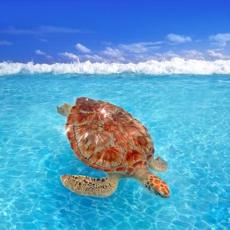 sea bottom: Green sea Turtle Chelonia mydas  Caribbean sea Cheloniidae water surface