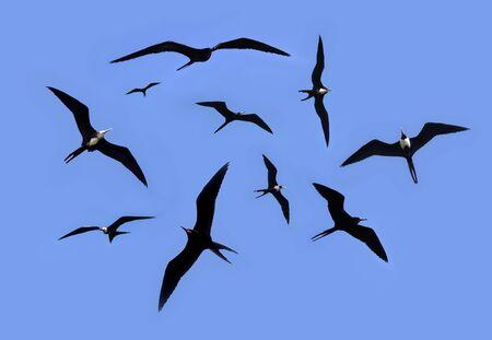 frigate: frigate bird silhouette backlight breeding season sky background Stock Photo