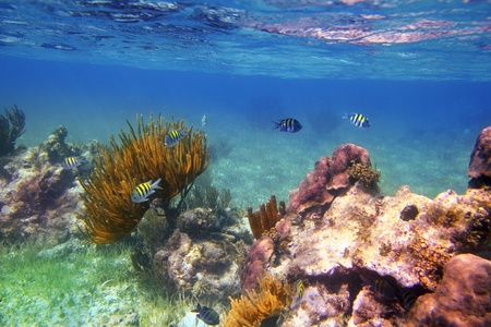 coral ocean: Sergeant Major fishes in caribbean reef Mexico Mayan Riviera