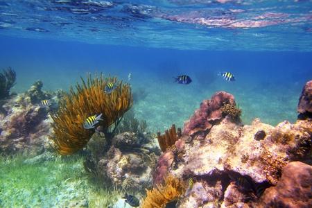 plants species: Sergente maggiore pesci nei Caraibi barriera corallina Messico Riviera Maya