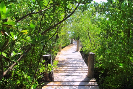 mangrove forest walkway jungle Quintana Roo mexico photo