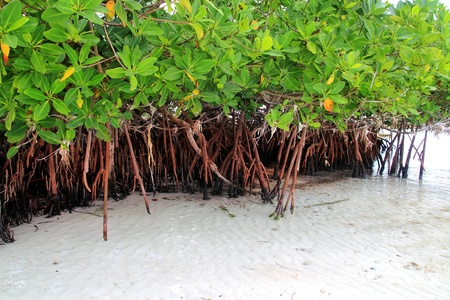 Mangrove plant in sea shore aerial roots Caribbean sea Mexico photo