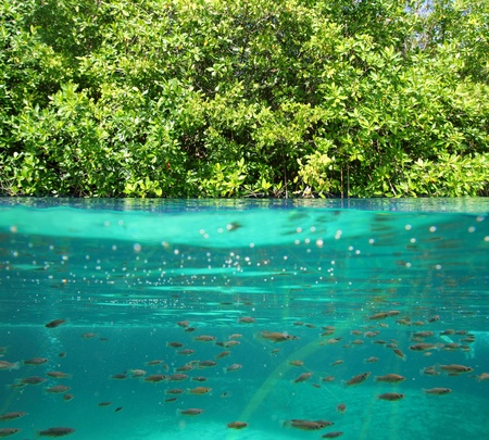 up and down: mangrove up down waterline real ecosystem organic algae in suspension Stock Photo